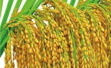 标准合约JR 粳稻