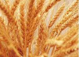 郑州商品交易所优质强筋小麦期货合约